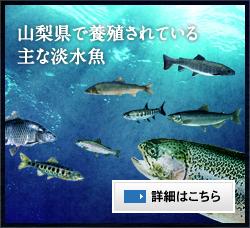 山梨県で養殖されている主な淡水魚 詳細はこちら